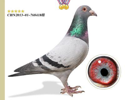 林波尔公牛号 功勋种鸽