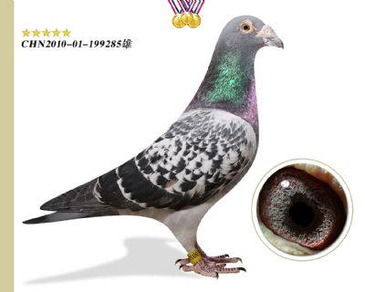 臻品推荐 胡本匹诺曹 作育出多羽高奖位成绩鸽