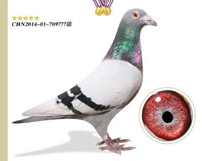 林波尔公牛号 臻品推荐种鸽