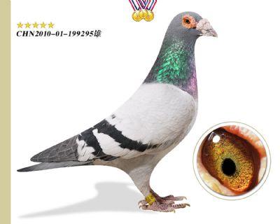 臻品功勋种鸽林波尔公牛号 作育出多羽高奖位成绩鸽
