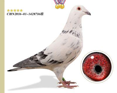 鲁道小白12号直系特留种鸽