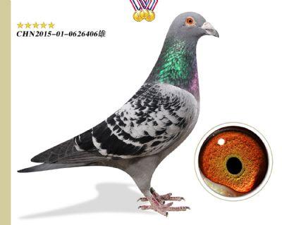 奥林匹克003  本鸽舍最快系种鸽