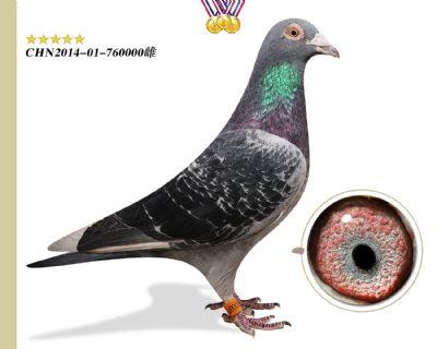 臻品推荐 胡本匹诺曹 作育出12羽高奖位成绩鸽