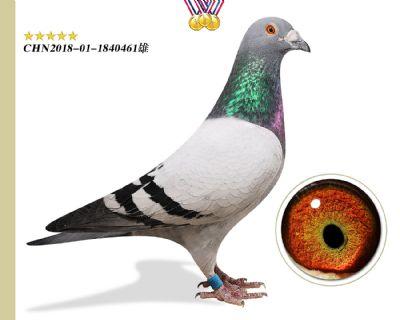 胡本年轻艺术家 臻品特留种鸽
