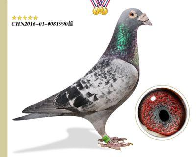 特别推荐 奥林匹克003 作育出6羽高奖位成绩鸽