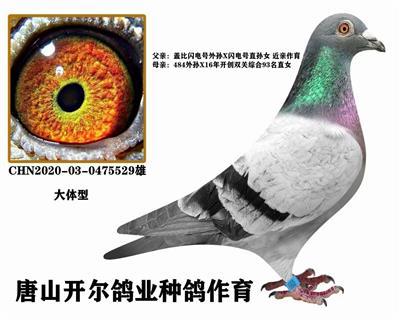 唐山开尔鸽业闪电盖比近亲