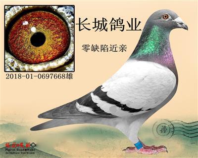 北京长城鸽业零缺陷近亲