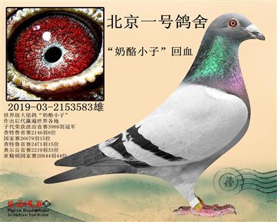 北京一号鸽舍 奶酪小子 回血 特留种鸽