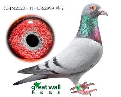 5.双鸽王子代.0362999