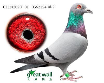 10.开创鸽王4名子代.0362124