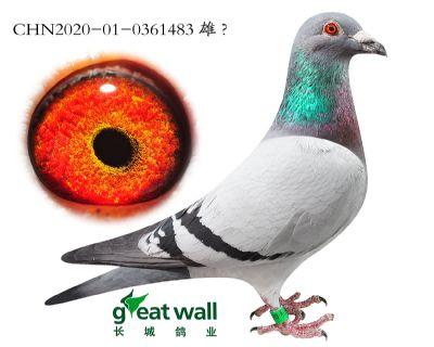 14.鸽王冠军半弟子代.0361483