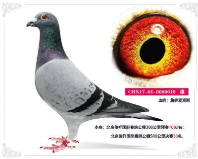 北京俊祥国际赛鸽公棚500公里决赛33名