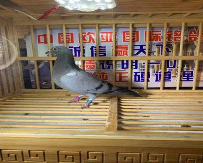 盖比海王星394万羽72名18名X大六关鸽王总冠军