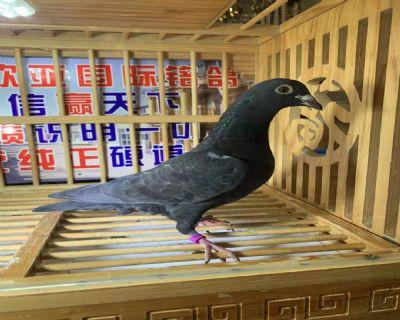 伊万原舍盖雷国家冠军776X亨利范路易235