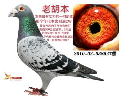 胡本老黄眼  镇棚种鸽