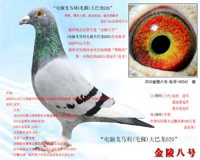 """6,温州信鸽协会500公里冠军亚军平辈""""电脑戈马利(毛脚)"""""""