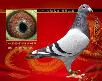 2016-23-0710107詹森老白眼回血种鸽