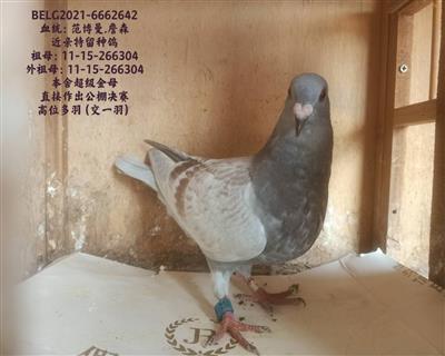 266304同母异父作出特留种鸽