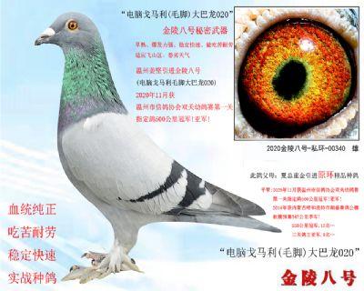 """3,温州市信鸽协会500公里冠军平辈""""电脑戈马利(毛脚)"""""""