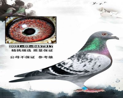 06开尔鸽业 密藏种鸽山坦士X至尊双雄 近亲作育