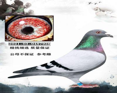 07北京一号鸽舍张斌 奶酪X速霸龙X胡本