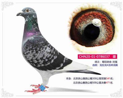 北京房山赛鸽公棚500公里决赛471名--鹭阳鸽舍-刘强